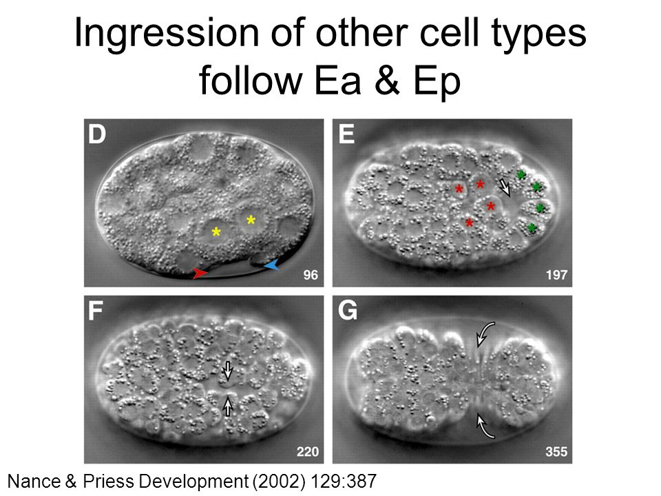 Ingression of other cell types follow Ea & Ep Nance & Priess Development (2002) 129:387