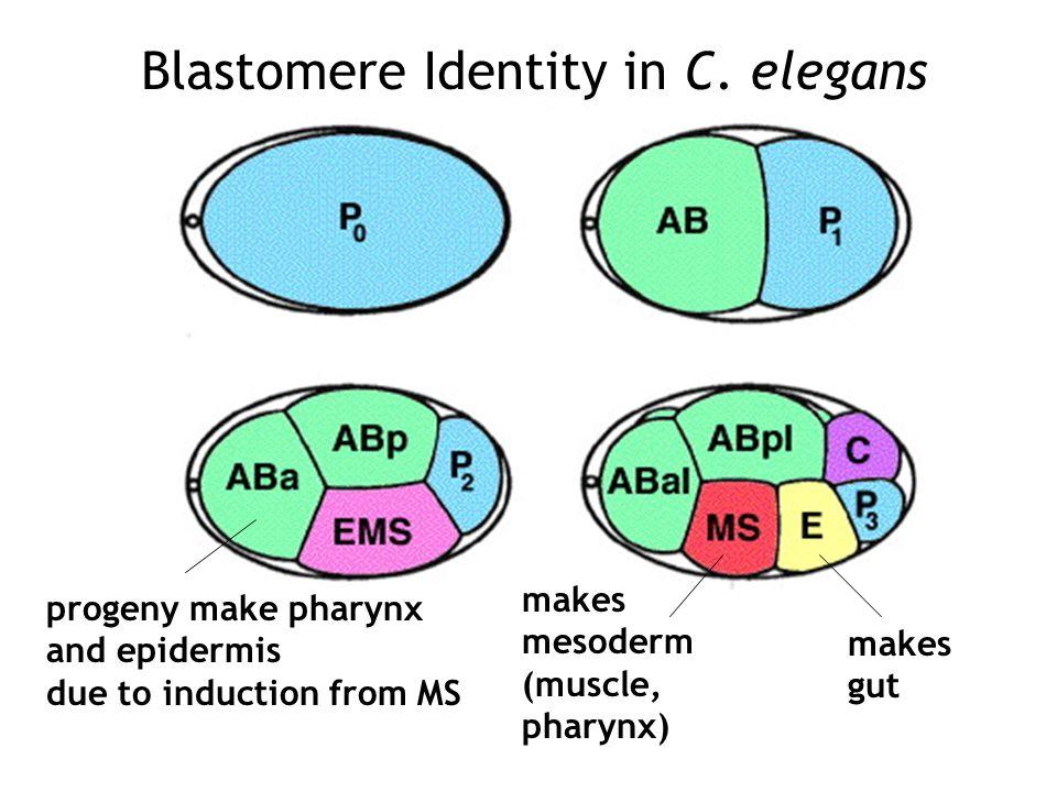 Blastomere Identity in C.