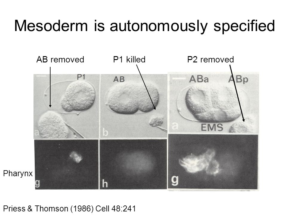 Mesoderm is autonomously specified Priess & Thomson (1986) Cell 48:241 AB removedP1 killed Pharynx P2 removed