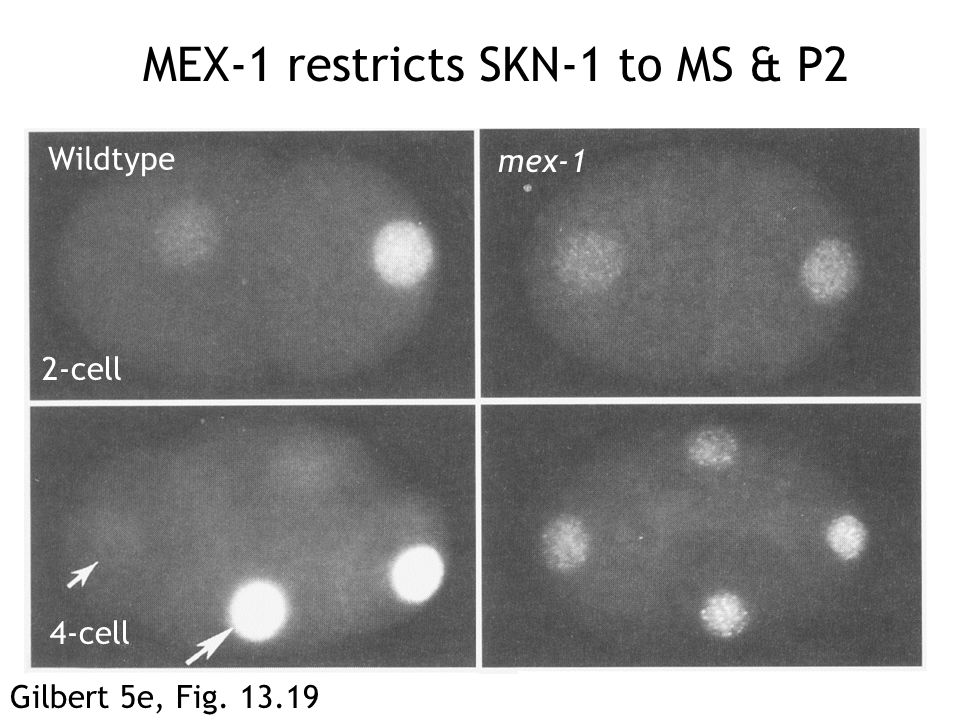 MEX-1 restricts SKN-1 to MS & P2 Gilbert 5e, Fig. 13.19 Wildtype mex-1 2-cell 4-cell