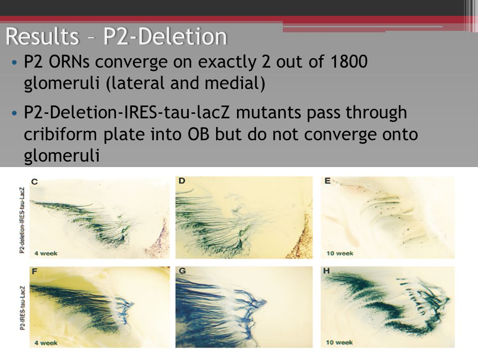 Results – P2-DeletionResults – P2-Deletion P2 ORNs converge on exactly 2 out of 1800 glomeruli (lateral and medial) P2-Deletion-IRES-tau-lacZ mutants