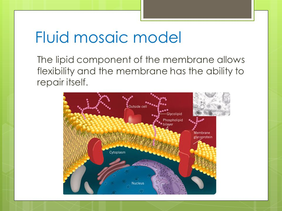 Fluid mosaic model The lipid component of the membrane allows flexibility and the membrane has the ability to repair itself.