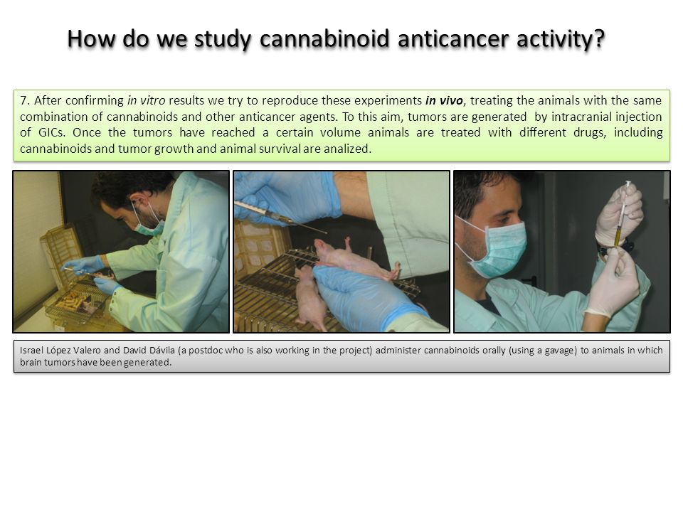 7. After confirming in vitro results we try to reproduce these experiments in vivo, treating the animals with the same combination of cannabinoids and