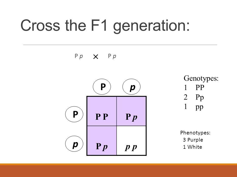 Cross the F1 generation: P p  P P p p P p P p Genotypes: 1PP 2Pp 1 pp Phenotypes: 3 Purple 1 White
