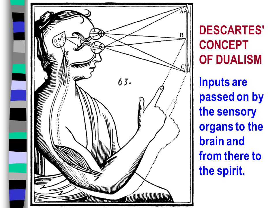 DESCARTES CONCEPT OF DUALISM Inputs are passed on by the sensory organs to the brain and from there to the spirit.