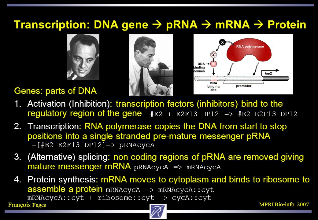 François Fages MPRI Bio-info 2007 Transcription: DNA gene  pRNA  mRNA  Protein Genes: parts of DNA 1.Activation (Inhibition): transcription factors (inhibitors) bind to the regulatory region of the gene #E2 + E2F13-DP12 => #E2-E2F13-DP12 2.Transcription: RNA polymerase copies the DNA from start to stop positions into a single stranded pre-mature messenger pRNA _=[#E2-E2F13-DP12]=> pRNAcycA 3.(Alternative) splicing: non coding regions of pRNA are removed giving mature messenger mRNA pRNAcycA => mRNAcycA 4.Protein synthesis: mRNA moves to cytoplasm and binds to ribosome to assemble a protein mRNAcycA => mRNAcycA::cyt mRNAcycA::cyt + ribosome::cyt => cycA::cyt