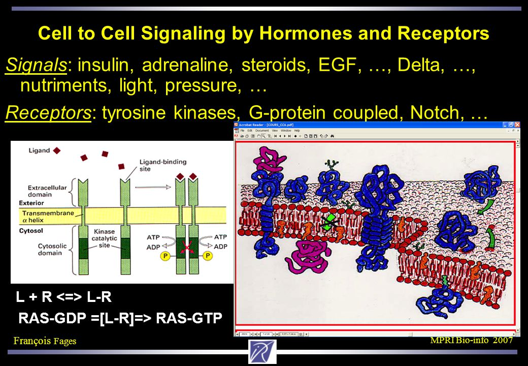François Fages MPRI Bio-info 2007 Cell to Cell Signaling by Hormones and Receptors Signals: insulin, adrenaline, steroids, EGF, …, Delta, …, nutriments, light, pressure, … Receptors: tyrosine kinases, G-protein coupled, Notch, … L + R L-R RAS-GDP =[L-R]=> RAS-GTP