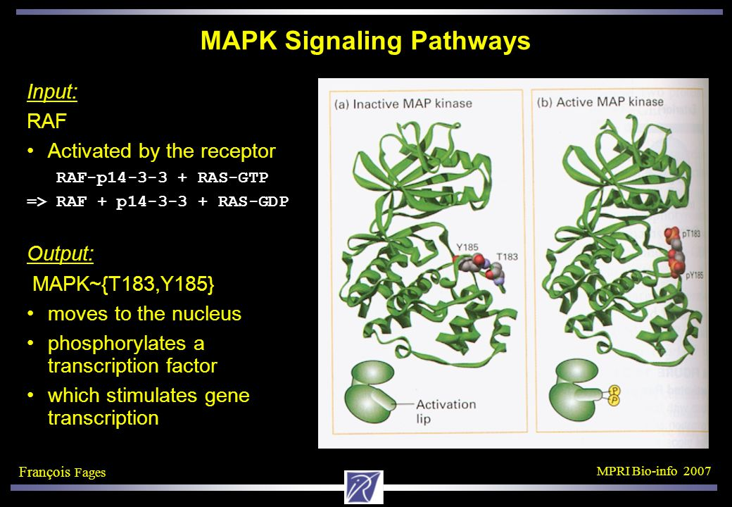 François Fages MPRI Bio-info 2007 MAPK Signaling Pathways Input: RAF Activated by the receptor RAF-p14-3-3 + RAS-GTP => RAF + p14-3-3 + RAS-GDP Output: MAPK~{T183,Y185} moves to the nucleus phosphorylates a transcription factor which stimulates gene transcription