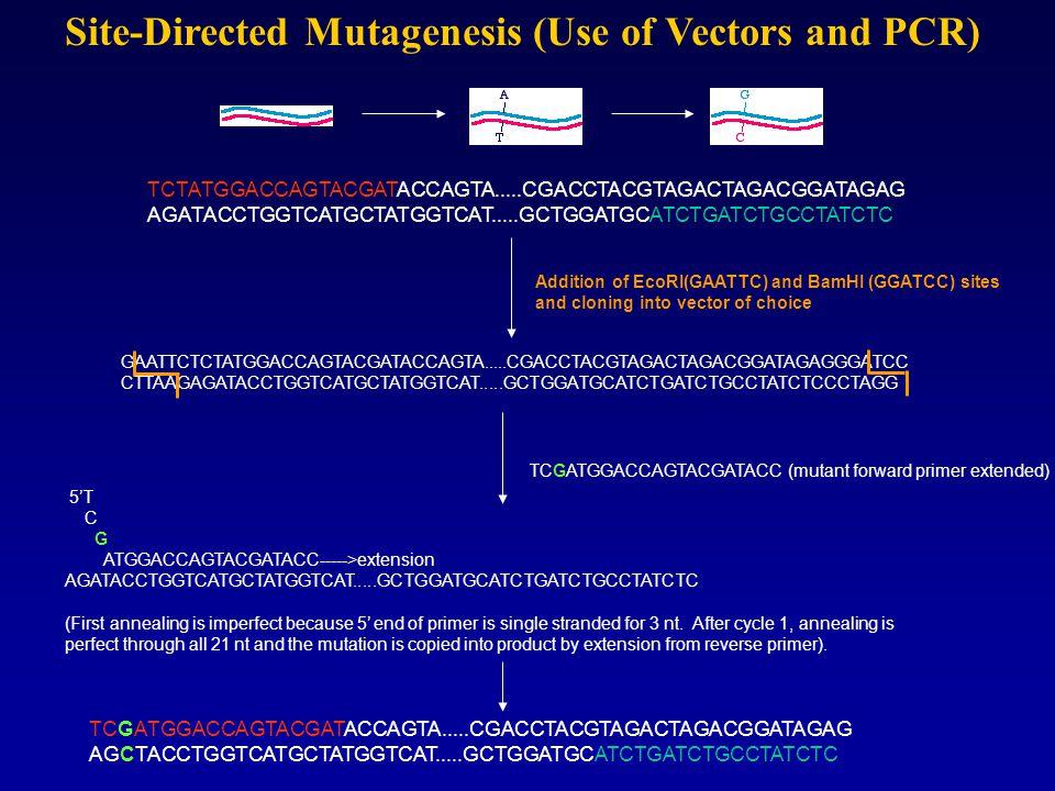 Site-Directed Mutagenesis (Use of Vectors and PCR) TCTATGGACCAGTACGATACCAGTA.....CGACCTACGTAGACTAGACGGATAGAG AGATACCTGGTCATGCTATGGTCAT.....GCTGGATGCATCTGATCTGCCTATCTC GAATTCTCTATGGACCAGTACGATACCAGTA.....CGACCTACGTAGACTAGACGGATAGAGGGATCC CTTAAGAGATACCTGGTCATGCTATGGTCAT.....GCTGGATGCATCTGATCTGCCTATCTCCCTAGG Addition of EcoRI(GAATTC) and BamHI (GGATCC) sites and cloning into vector of choice TCGATGGACCAGTACGATACC (mutant forward primer extended) 5'T C G ATGGACCAGTACGATACC----->extension AGATACCTGGTCATGCTATGGTCAT.....GCTGGATGCATCTGATCTGCCTATCTC (First annealing is imperfect because 5' end of primer is single stranded for 3 nt.