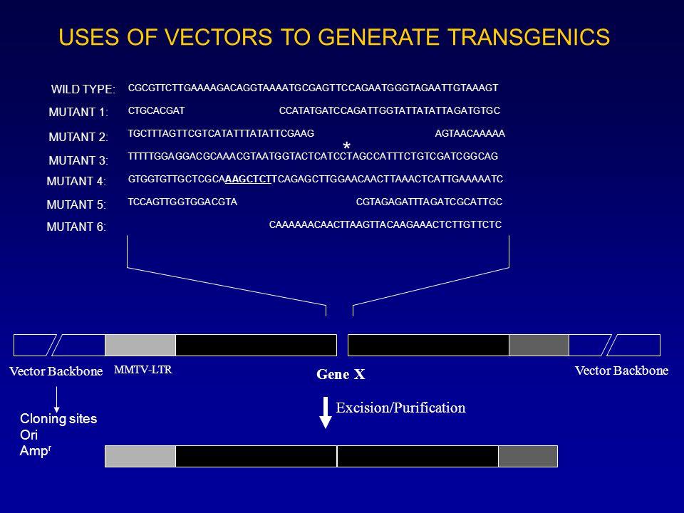 USES OF VECTORS TO GENERATE TRANSGENICS MMTV-LTR Gene X Vector Backbone CGCGTTCTTGAAAAGACAGGTAAAATGCGAGTTCCAGAATGGGTAGAATTGTAAAGT CTGCACGAT CCATATGATCCAGATTGGTATTATATTAGATGTGC TGCTTTAGTTCGTCATATTTATATTCGAAG AGTAACAAAAA TTTTTGGAGGACGCAAACGTAATGGTACTCATCCTAGCCATTTCTGTCGATCGGCAG GTGGTGTTGCTCGCAAAGCTCTTCAGAGCTTGGAACAACTTAAACTCATTGAAAAATC TCCAGTTGGTGGACGTA CGTAGAGATTTAGATCGCATTGC CAAAAAACAACTTAAGTTACAAGAAACTCTTGTTCTC WILD TYPE: MUTANT 1: MUTANT 2: MUTANT 3: MUTANT 4: MUTANT 5: MUTANT 6: * Cloning sites Ori Amp r Vector Backbone Excision/Purification