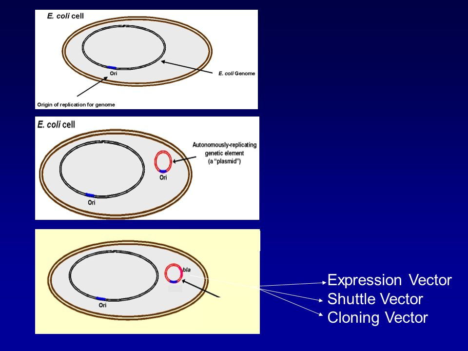 Expression Vector Shuttle Vector Cloning Vector
