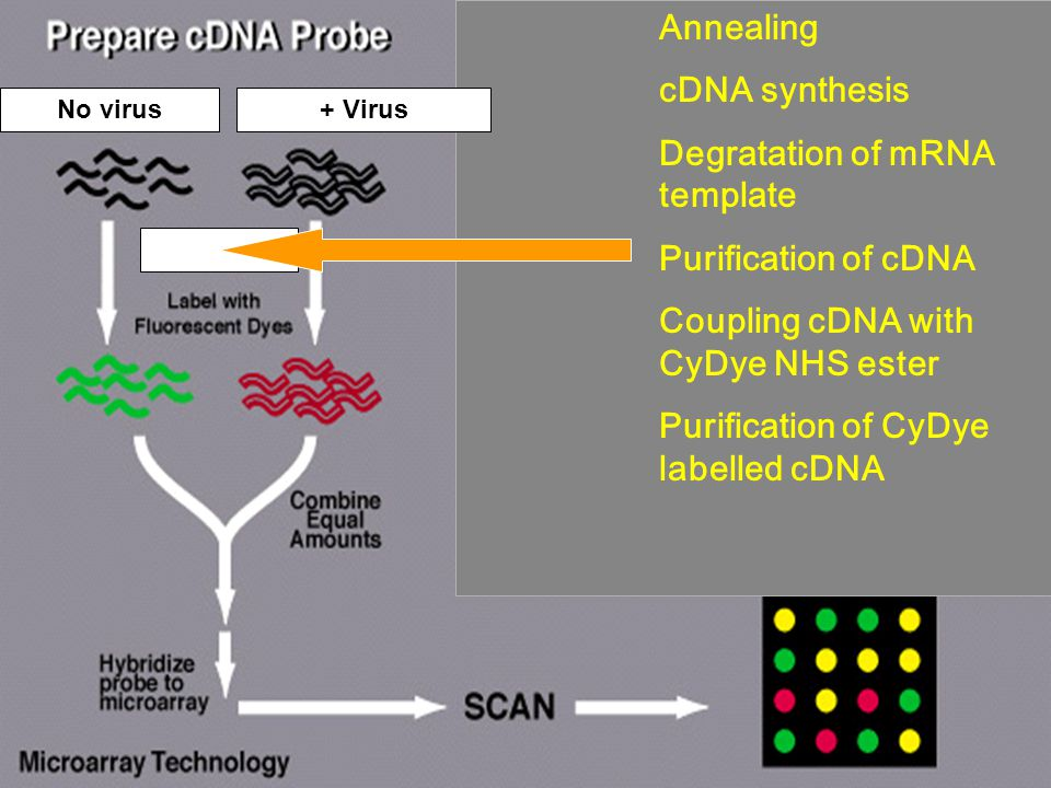 No virus+ Virus Annealing cDNA synthesis Degratation of mRNA template Purification of cDNA Coupling cDNA with CyDye NHS ester Purification of CyDye labelled cDNA