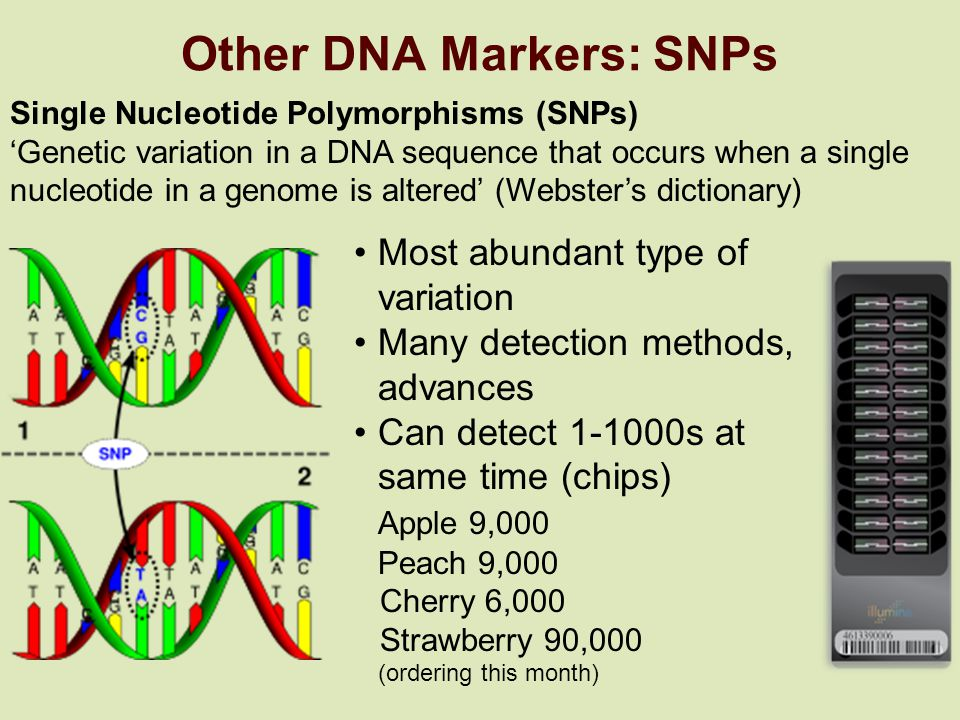 Other DNA Markers: SNPs Single Nucleotide Polymorphisms (SNPs) 'Genetic variation in a DNA sequence that occurs when a single nucleotide in a genome is altered' (Webster's dictionary) Most abundant type of variation Many detection methods, advances Can detect 1-1000s at same time (chips) Apple 9,000 Peach 9,000 Cherry 6,000 Strawberry 90,000 (ordering this month)