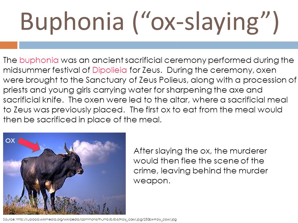 Buphonia ( ox-slaying ) ox Source: http://upload.wikimedia.org/wikipedia/commons/thumb/b/b6/Holy_cow!.jpg/250px-Holy_cow!.jpg The buphonia was an ancient sacrificial ceremony performed during the midsummer festival of Dipolieia for Zeus.