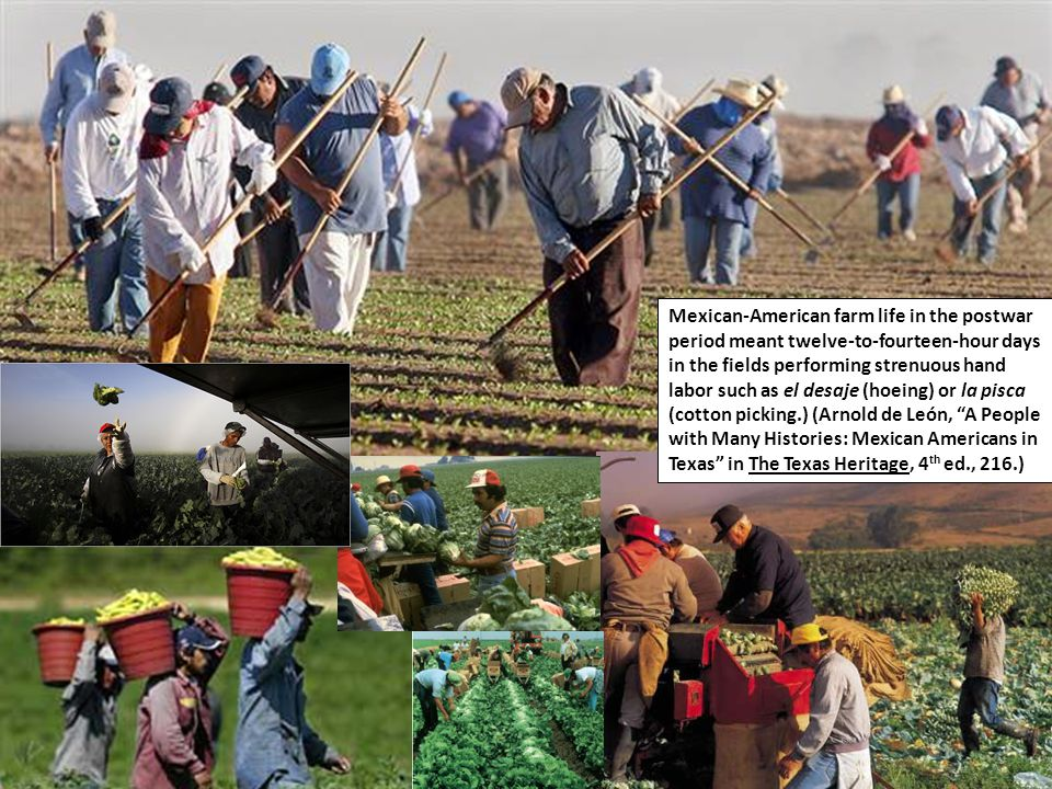 Mexican-American farm life in the postwar period meant twelve-to-fourteen-hour days in the fields performing strenuous hand labor such as el desaje (hoeing) or la pisca (cotton picking.) (Arnold de León, A People with Many Histories: Mexican Americans in Texas in The Texas Heritage, 4 th ed., 216.)