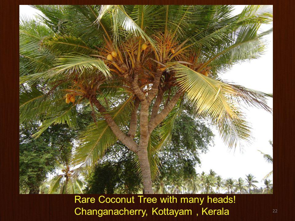 22 Rare Coconut Tree with many heads! Changanacherry, Kottayam, Kerala