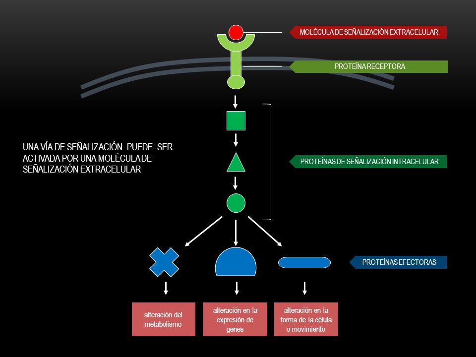 Moléculas señalización extracelular: Proteínas Pequeños péptidos Aminoácidos Nucleótidos Esteroides Derivados de ácidos grasos Gases disueltos RECEPTORES DE LA SUPERFICIE CELULAR Proteína receptora de la superficie celular Membrana plasmática Célula blanco Molécula de señalización hidrofílica Pequeña molécula de señalización hidrofóbica Núcleo Célula blanco Proteína receptora intracelular