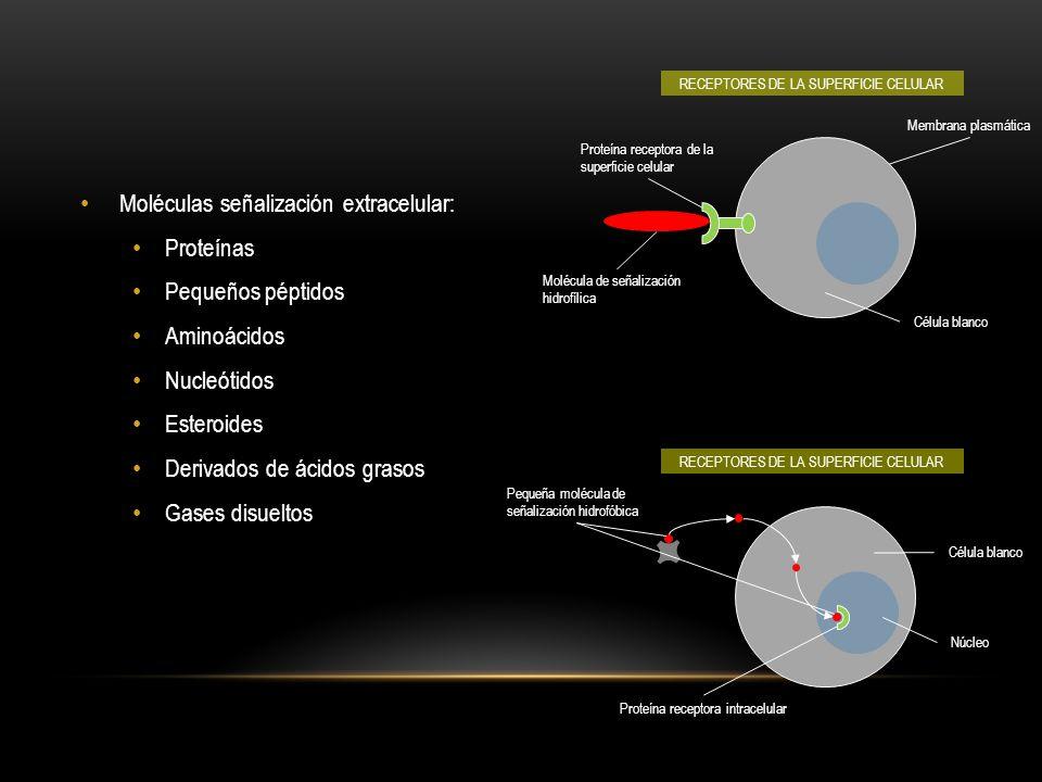 Célula señalizadora DEPENDIENTE DE CONTACTOPARACRINO ENDOCRINO SINÁPTICO Célula señalizadora Célula blanco Molécula de señalización de unión de membrana Mediador local Células blanco Neurotransmisor Neurona Sinapsis Hormona Célula blanco Receptor Célula endocrina Flujo sanguíneo EXISTEN CUATRO FORMAS DE SEÑALIZACIÓN INTRACELULAR