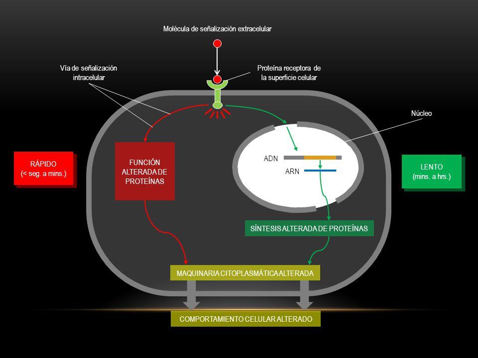 SOBREVIVENCIA CRECIMIENTO + DIVISIÓN DIFERENCIACIÓN MUERTE Célula apoptótica A B C D E A B C A B C F G UNA CÉLULA ANIMAL DEPENDE DE MÚLTIPLES MOLÉCULAS DE SEÑALZIACIÓN EXTRACELULARES