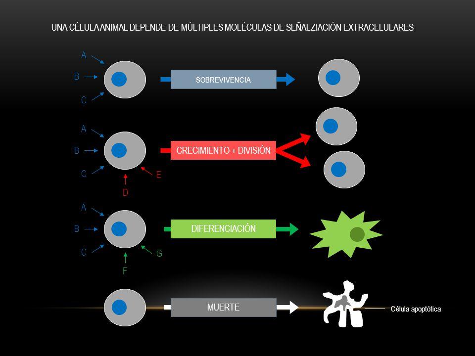 RECEPTORES ACOPLADOS A CANALES DE IONES RECEPTORES ACOPLADOS A PROTEÍNA G RECEPTORES ACOPLADOS A ENZIMAS iones moléculas de señalización membrana plasmática receptor inactivo proteína G inactiva enzima inactiva receptor y proteína G inactivo enzima activada proteína G activada molécula de señalización en forma de dímero dominio catalítico inactivo dominio catalítico activo enzima asociada activada moléculas de señalización EXISTEN TRES CLASES DE RECEPTORES DE SUPERFICIE CELULAR
