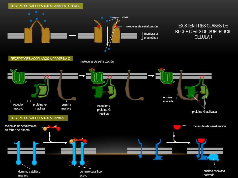 TRANSDUCCIÓN PRIMARIA molécula de señalización extracelular proteína receptora membrana plasmática CITOSOL ANDAMIO transmitir transducir y amplificar integrar propagar anclar modular ACTIVACIÓN DE LA PROTEÍNA EFECTORA TRANSCRIPCIÓN DE GEN envoltura nuclear NÚCLEO proteína efectora activada ADN elemento de respuesta a la señal activación del gen 1.