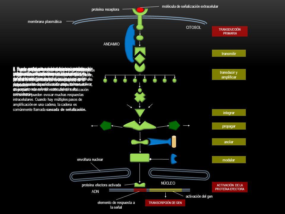 P P ATP ADP OFF ON SEÑAL DENTRO SEÑAL FUERA P GTP GDP OFF ON SEÑAL DENTRO SEÑAL FUERA GTP GDP SEÑALIZACIÓN POR FOSFORILACIÓNSEÑALIZACIÓN POR UNIÓN A GTP proteína cinasa proteína fosfatasa unión de GTP hidrolisis de GTP EXISTEN DOS TIPOS DE PROTEÍNAS DE SEÑALIZACIÓN INTRACELULAR QUE ACTÚAN COMO APAGADORES MOLECULARES
