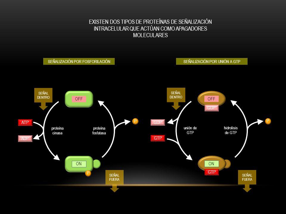 receptor acoplado a proteína G activado moléculas de señalización (como hormonas, quimiocinas, eicosanoides, y mediadores inflamatorios) fosfolipasa C-  activada GTP lumen del retículo endoplásmico LOS RECEPTORES ACOPLADOS A PROTEÍNA G PUEDEN INCREMENTAR EL CA2+ Y ACTIVAR A PKC P P P GDP GTP proteína G activada fosfolipasa C-  PtdIns (4,5) P 2 DAG Ins (1,4,5) P 3 PKCs P Ca2+ Síntesis y liberación de quimioncinas y eiconadoides