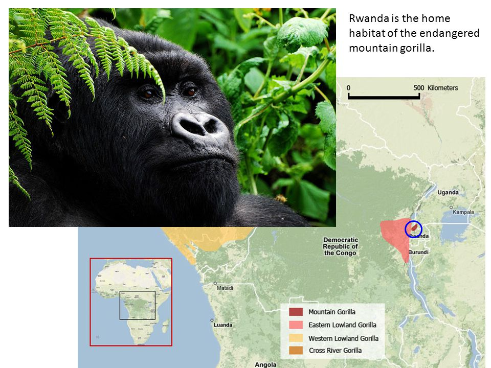 Rwanda is the home habitat of the endangered mountain gorilla.