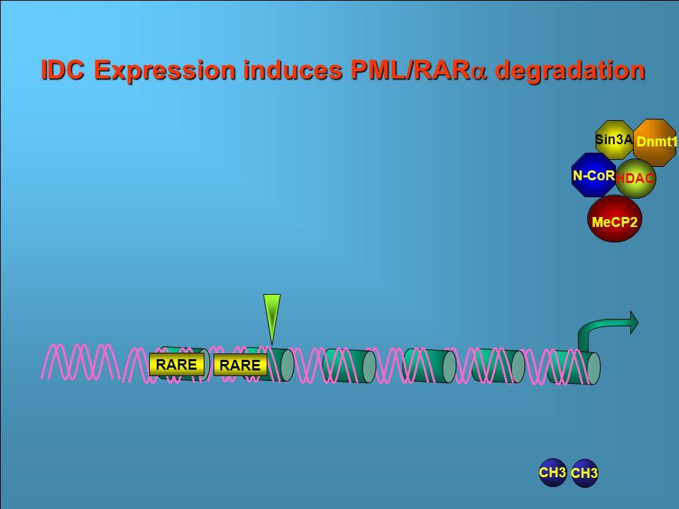 Sin3A N- CoR CH3 Dnmt1 MeCP2 RAR  RARE RAR  PML RARE Transcriptional Repression by PML/RAR  HDAC Ac RAR  RARE RAR  PML RARE CH3 IDC Expression impairs N-CoR/RAR  binding CH3 PML RAR  RARE RAR  RARE Sin3A HDAC Dnmt1 N-CoR MeCP2 CH3 Sin3A HDAC Dnmt1 N-CoR MeCP2 RARE IDC Expression induces PML/RAR  degradation