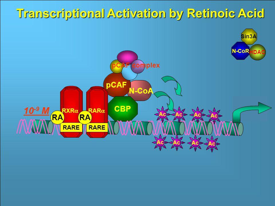 RAR  RARE RXR  RARE Sin3A Ac N- CoR Inactive RAR  HDAC Ac RA 10 -9 M Francesco Grignani Transcriptional Activation by Retinoic Acid Sin3A HDAC N-CoR CBP pCAF pCAF complex N-CoA RAR  RARE RXR  RARE RA 10 -9 M Ac