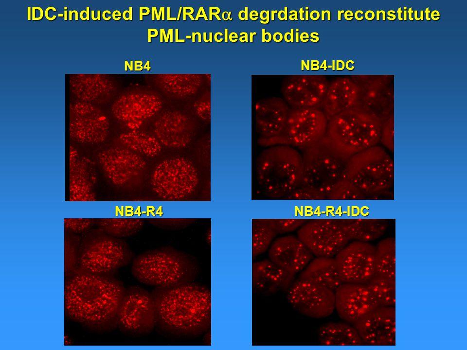 NB4-R4NB4-R4-IDC NB4 NB4-IDC IDC-induced PML/RAR  degrdation reconstitute PML-nuclear bodies