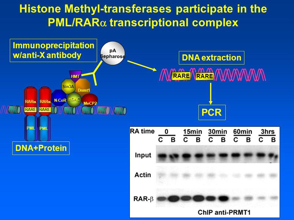 HMT RARE RAR  RARE RAR  PML RARE Dnmt1 Sin3A MeCP2 N-CoR HDAC pA Sepharose DNA+Protein Immunoprecipitation w/anti-X antibody RARE DNA extraction PCR Histone Methyl-transferases participate in the PML/RAR  transcriptional complex