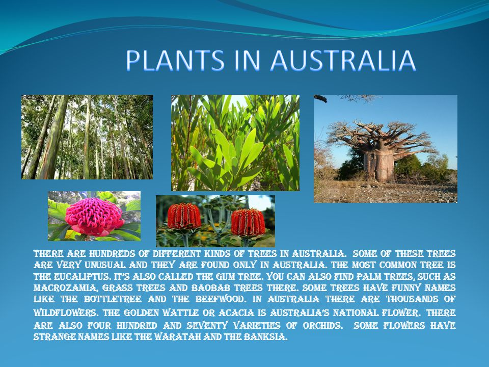 THERE ARE HUNDREDS OF DIFFERENT KINDS OF TREES IN AUSTRALIA.