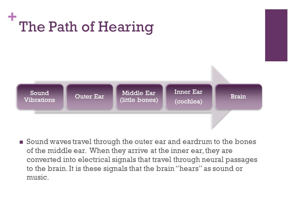 + The Path of Hearing Sound Vibrations Outer Ear Middle Ear (little bones) Inner Ear (cochlea) Brain Sound waves travel through the outer ear and eard