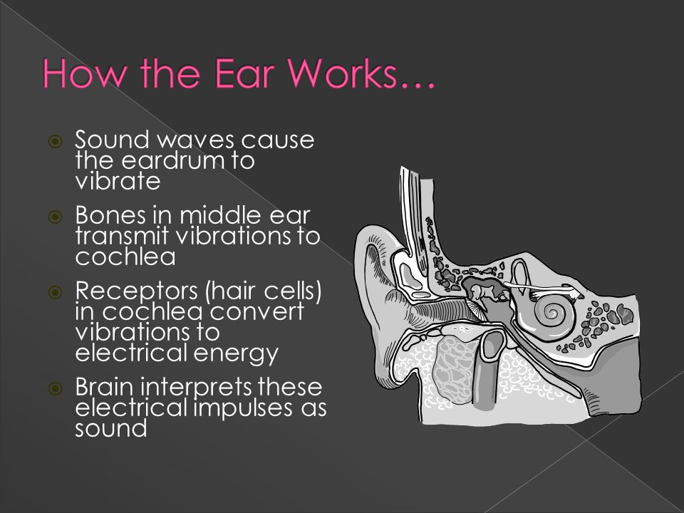  Sound waves cause the eardrum to vibrate  Bones in middle ear transmit vibrations to cochlea  Receptors (hair cells) in cochlea convert vibrations to electrical energy  Brain interprets these electrical impulses as sound
