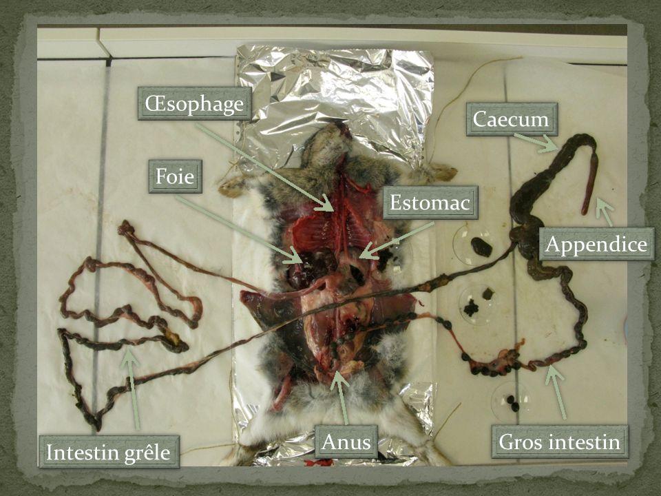 Intestin grêle Caecum Appendice Foie Estomac Œsophage Anus Gros intestin