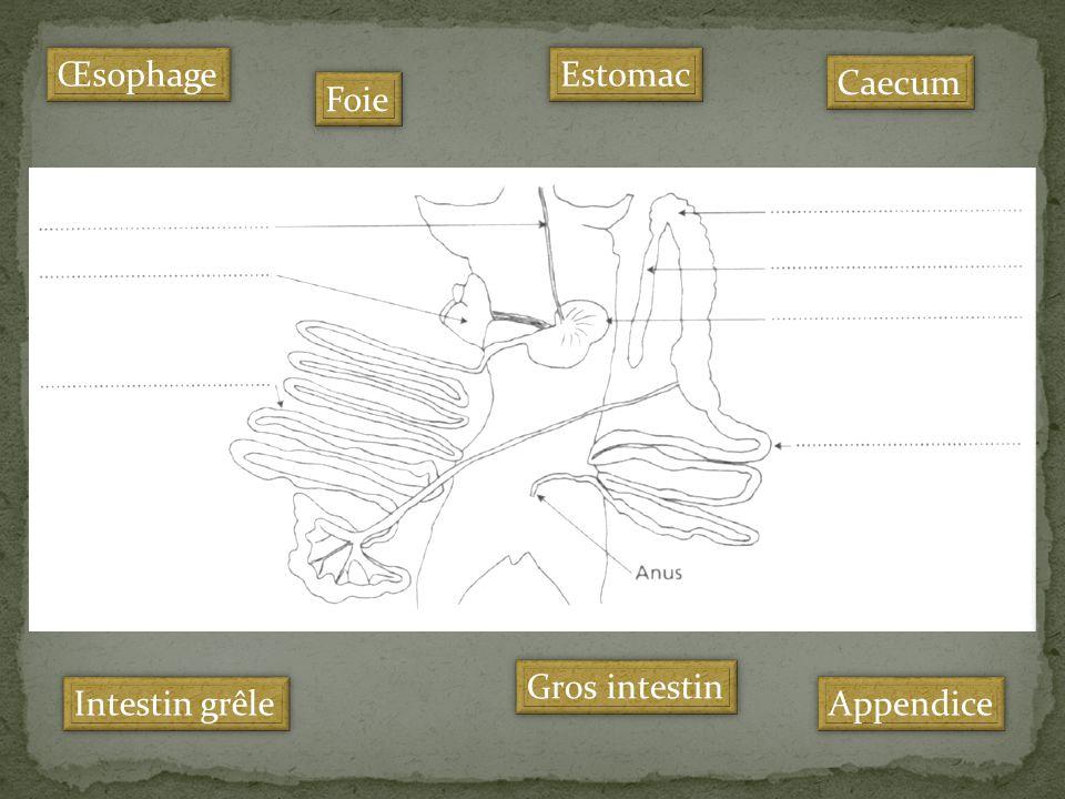 Intestin grêle Caecum Appendice Foie Estomac Œsophage Gros intestin
