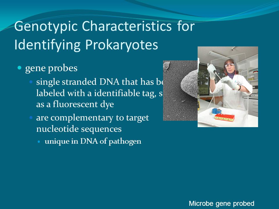 Genotypic Characteristics for Identifying Prokaryotes If there is a suspicion, based on symptoms or other environmental parameters that indicates that the organism to be identified may be organism A , a single strand of organism A's DNA is introduced with a tag attached (such as fluorescent dye).