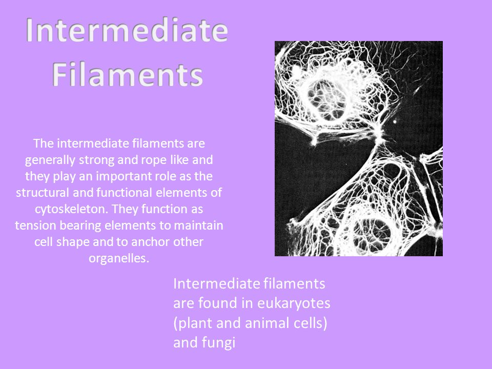 The intermediate filaments are generally strong and rope like and they play an important role as the structural and functional elements of cytoskeleton.