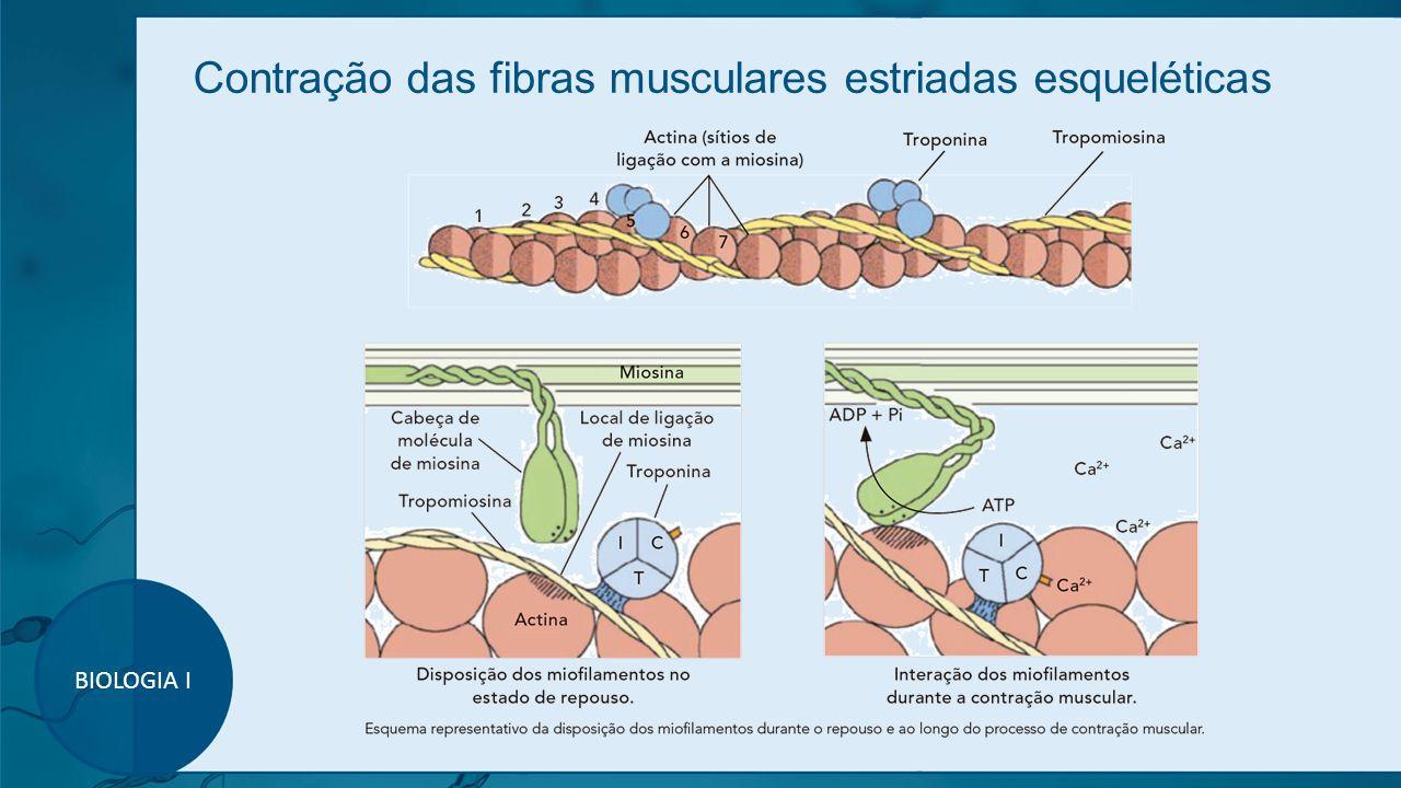 Contração das fibras musculares estriadas esqueléticas BIOLOGIA I