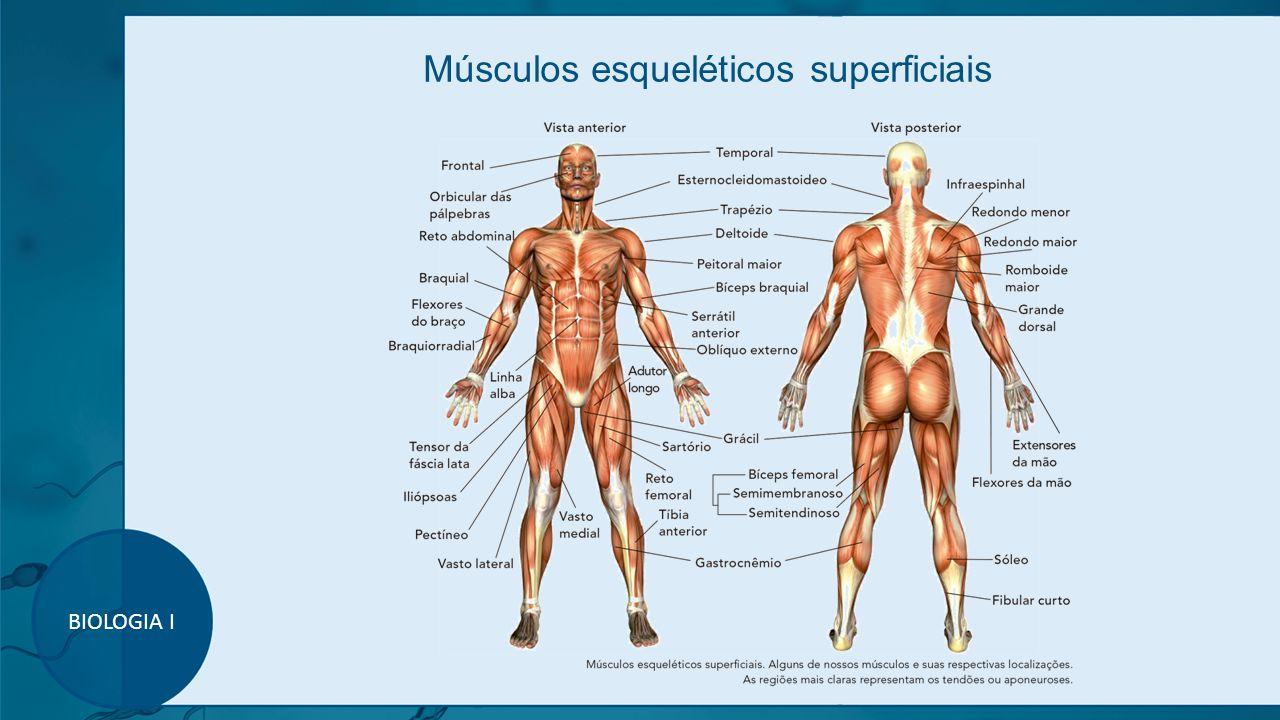 Músculos esqueléticos superficiais BIOLOGIA I