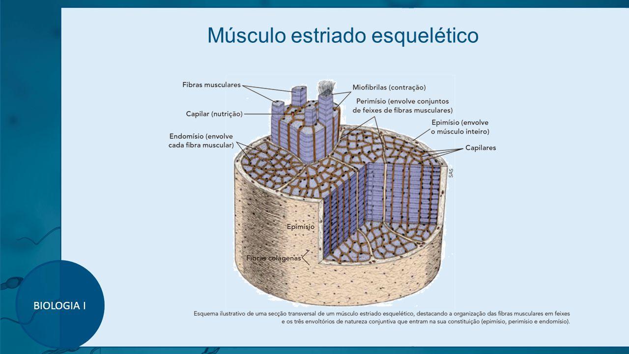 Músculo estriado esquelético BIOLOGIA I