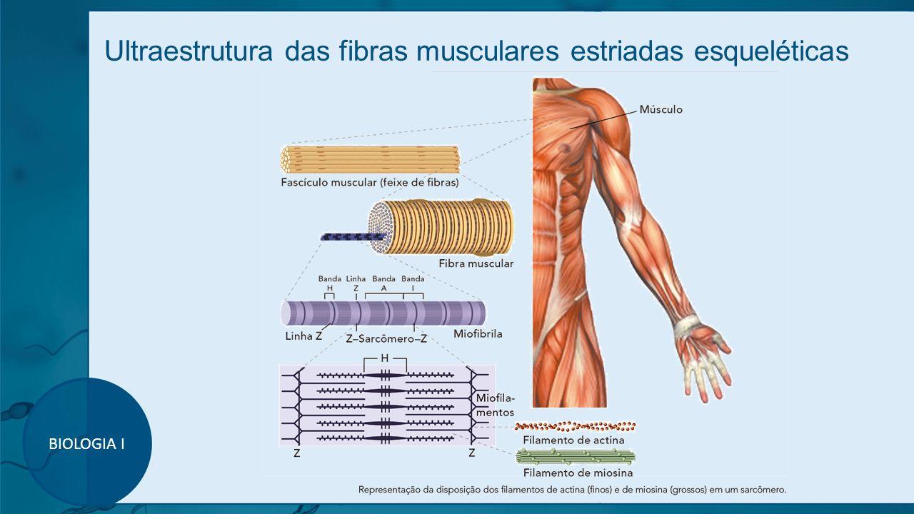 Ultraestrutura das fibras musculares estriadas esqueléticas BIOLOGIA I