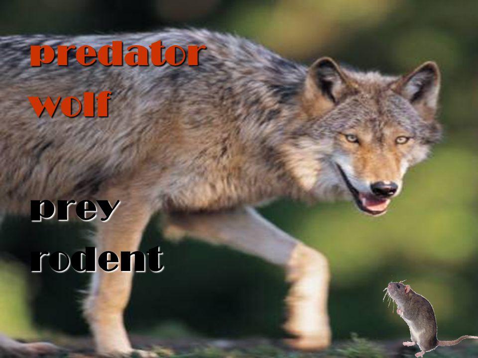 predatorwolfpreyrodent