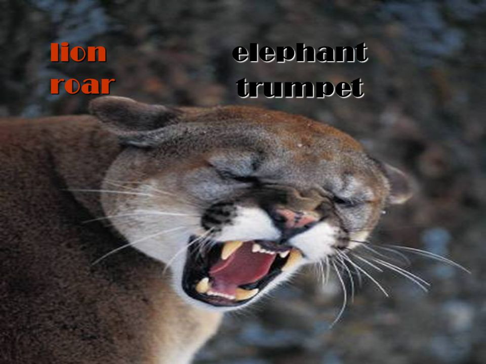 roar elephant lion trumpet