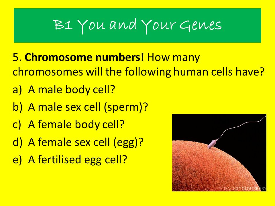 B1 You and Your Genes 5. Chromosome numbers! How many chromosomes will the following human cells have? a)A male body cell? b)A male sex cell (sperm)?