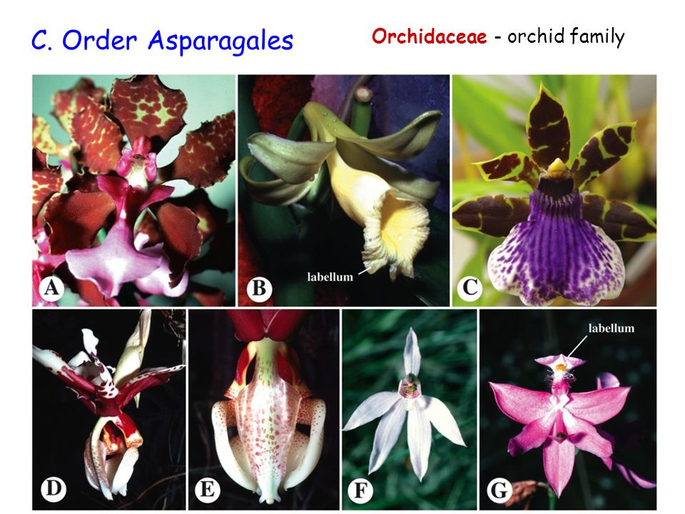 Orchidaceae - orchid family C. Order Asparagales