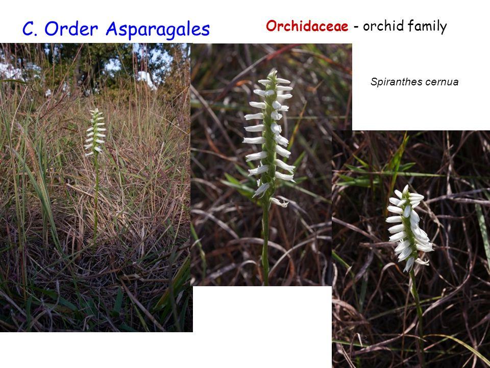 Orchidaceae - orchid family C. Order Asparagales Spiranthes cernua