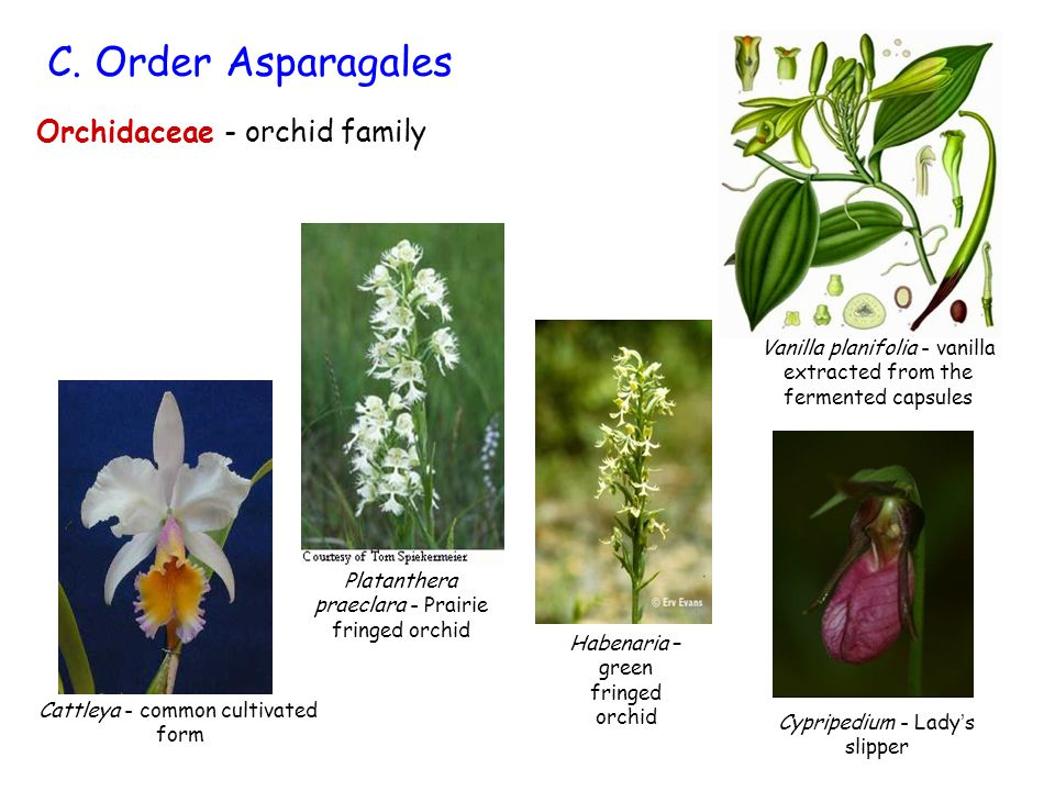 Vanilla planifolia - vanilla extracted from the fermented capsules Orchidaceae - orchid family C.