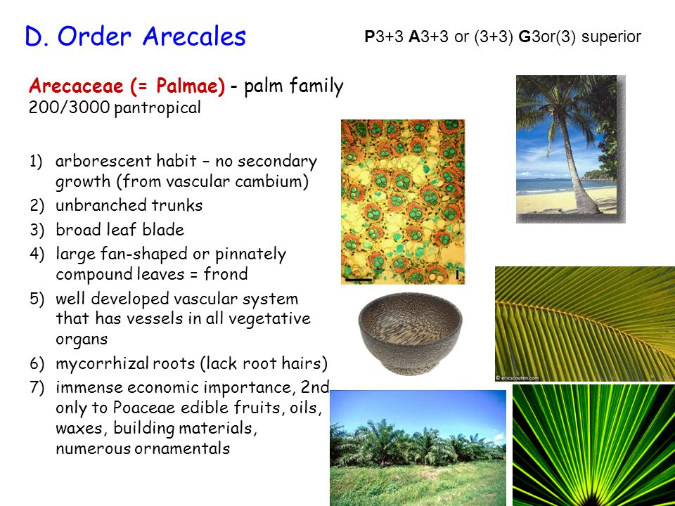 Arecaceae (= Palmae) - palm family 200/3000 pantropical 1) arborescent habit – no secondary growth (from vascular cambium) 2) unbranched trunks 3) bro